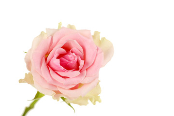 Beautiful rose isolated on a white, close up
