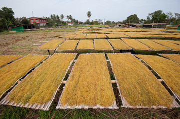 Cigarette farm. Dry tobacco leaf in bamboo plate in the morning.