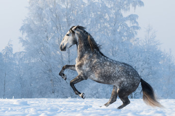 Wall Mural - Purebred horse prancing on winter meadow