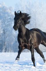 Fototapete - Black purebred stallion running fast gallop