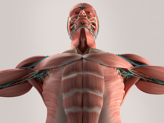 Human anatomy chest from low angle. Muscle. Veins. On plain studio background. Professional lighting.