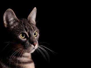 Cat, black background