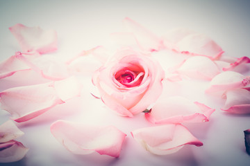 pink and white rose with petal