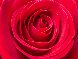 Close up red rose 1