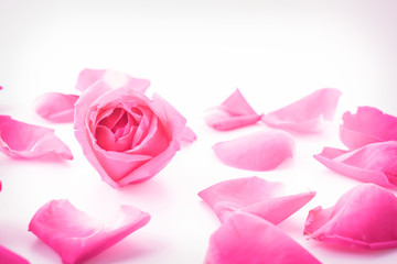 pink rose with petal
