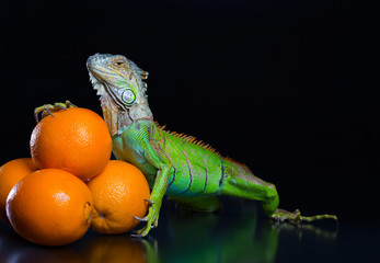 The green iguana and a pile of oranges on a black background