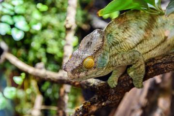 Green Chameleon Lizard On Branch