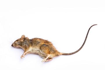 Dead Rat on white background