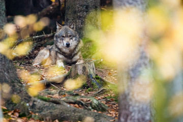 Autumn photo of a wolf