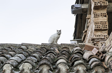 Wild Cat on a roof
