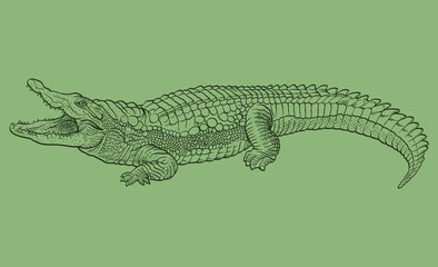 Hand drawn crocodile. Vector illustration