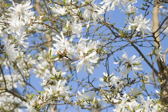 White magnolia in blossom