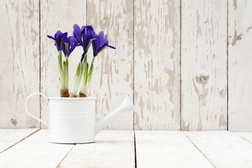 springtime, iris potted flowers in watering can on wooden white