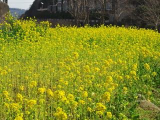Oilseed rape field beside the stream
