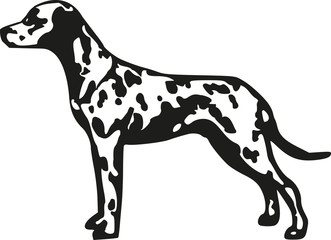Dalmatian spotted coach dog
