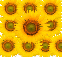 sunflowers and Sunflower isolated on white background