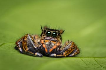 Macro of jumper spider on green leaf.