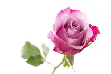 Einzelne Rose auf weißem Hintergrund