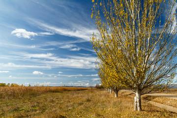 Álamos Blancos, Populus alba y campo de maíz.