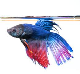 Betta splendens - siamese fighting fish
