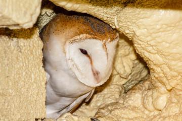 Lechuza Común. Tyto alba. Ave rapaz nocturna.