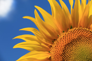Beautiful sunflowers against blue sky