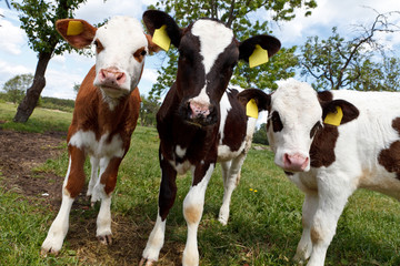 Three young curious cows