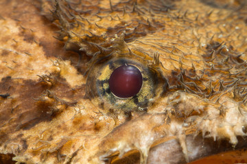 Eye of a toad fish