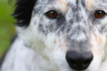 Macro of a white black brown mottled border collie Australian shepherd dog pet canine face head with brown eyes