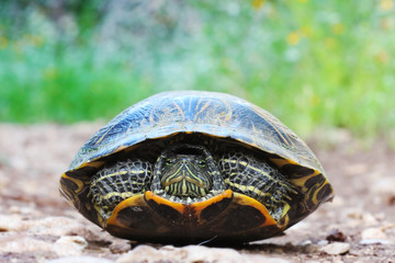 Close up of a wild red eared slider turtle reptile hiding in shell on a path outside waiting watching patient