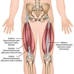 Anatomie des Quadrizeps Muskeln
