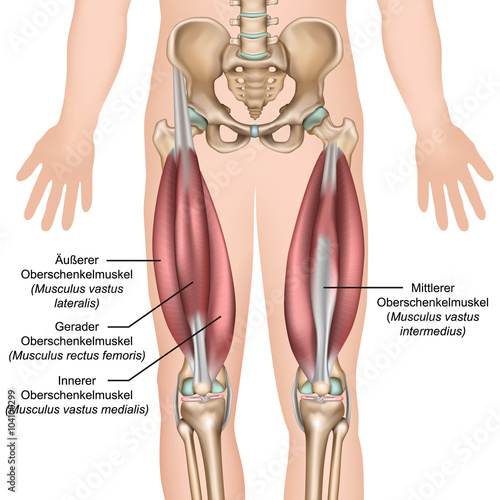 Anatomie des Quadrizeps Muskeln\