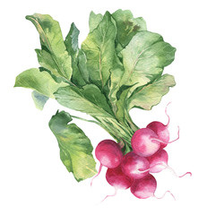 Watercolor hand-drawn illustration of fresh radish. Watercolor harvest isolated on white background