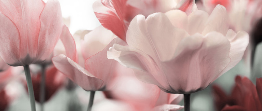 pink tinted tulips