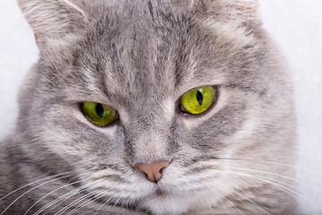 Sad muzzle of a gray cat