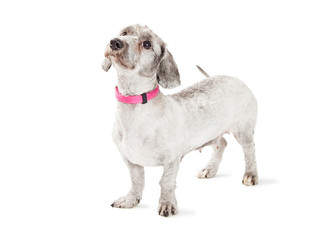 Mixed Small Breed Dog With Pink Collar
