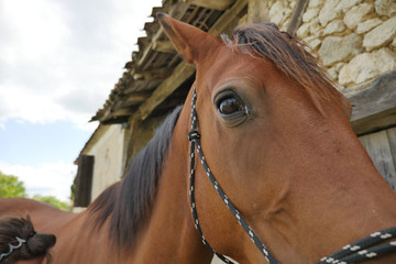 Close-up of Horse in farm.