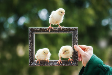 Three little chicks sitting on the frame