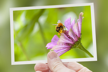 hand shows a shot of bee collecting honey on pink flower