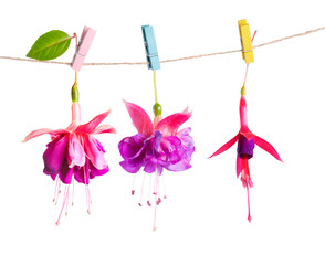 beautiful hybrid of fuchsia flowers handing on rope with colorfu