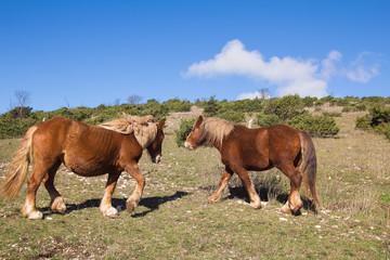 Cavalli in alta montagna al pascolo