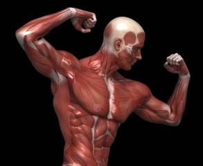Man muscular anatomy in bodybuilder pose