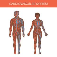 Cardiovascular system vector