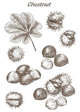 chestnut set of sketches
