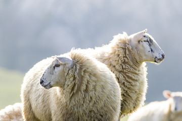 Two back lit sheep staringinto camera