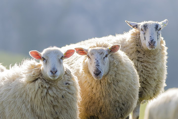 Three back lit sheep staring into camera