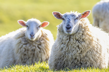 Two back lit sheep staring into camera