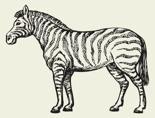 Zebra. Vector drawing