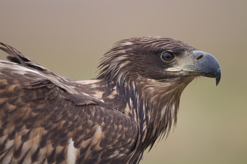 Eagle portraite