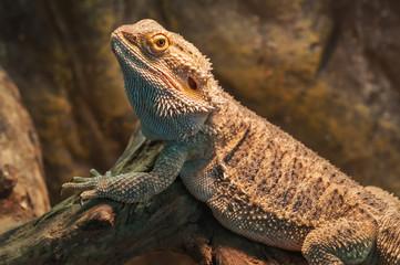 bearded dragon (agama lizard)